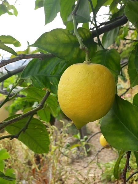 Marmellata di limoni - gr. 230