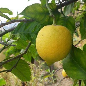 Limoni non trattati 500 g