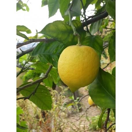 1 kg di Limoni Liguri non trattati